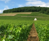 Vintage Report: Burgundy 2015..a beautiful year